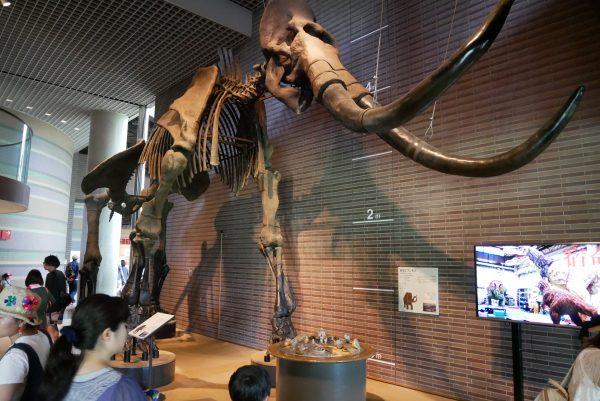 マンモス 茨城県自然博物館